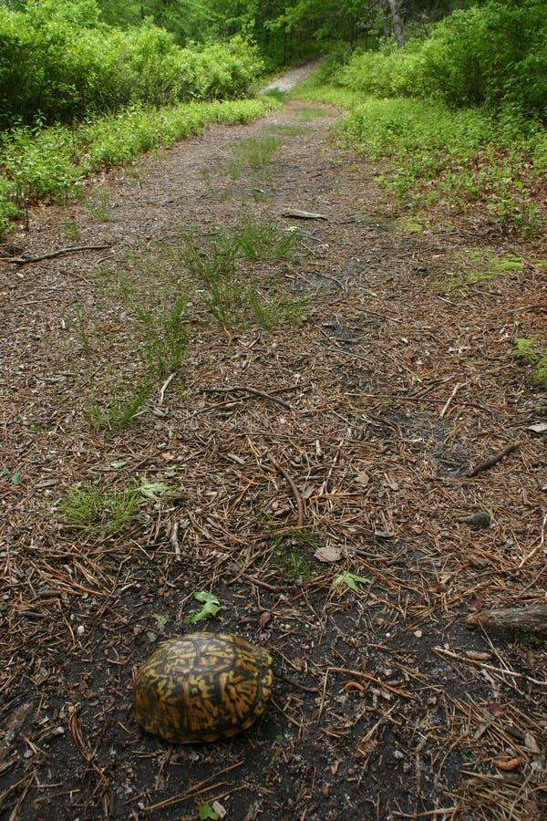 Östliche Kastenschildkröte im Pfad lizenzfreies stockbild