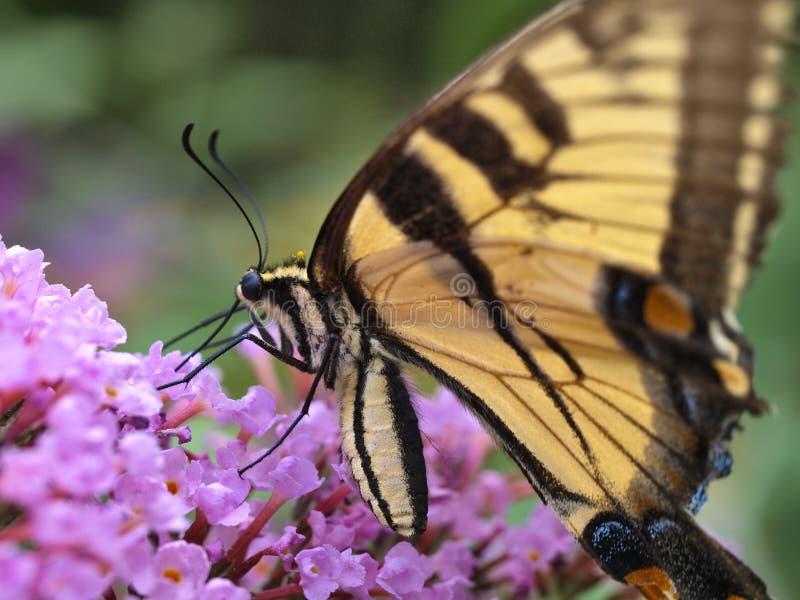 Östliche Tiger swallowtail Basisrecheneinheit stockfotos