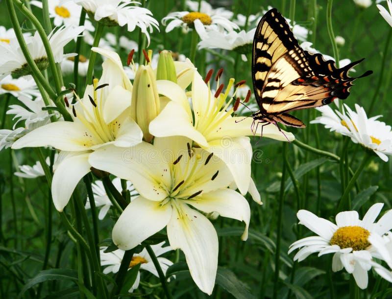 Östliche Tiger swallowtail Basisrecheneinheit und Blumen lizenzfreie stockfotos