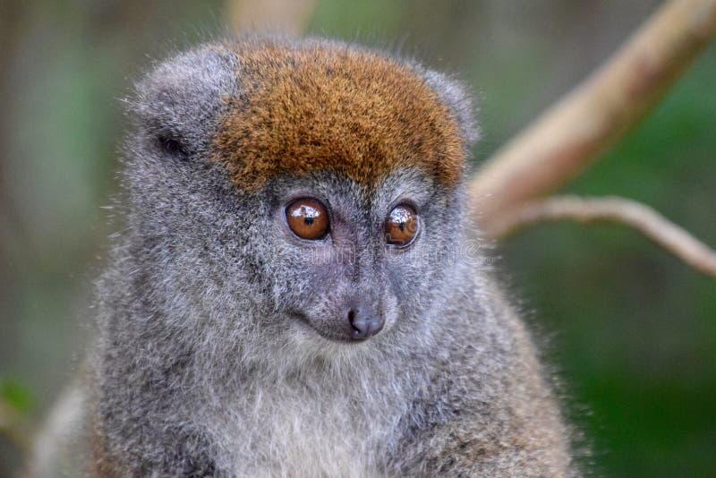 Östlicher grauer Bambusmaki, Madagaskar stockfotos