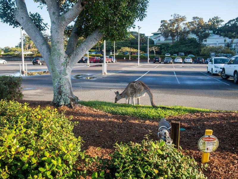 Östlicher grauer Känguru beutelartig oder alias großes Grau Känguru Macropus giganteus, das öffentlich Parkplatz des Grases isst lizenzfreie stockfotografie
