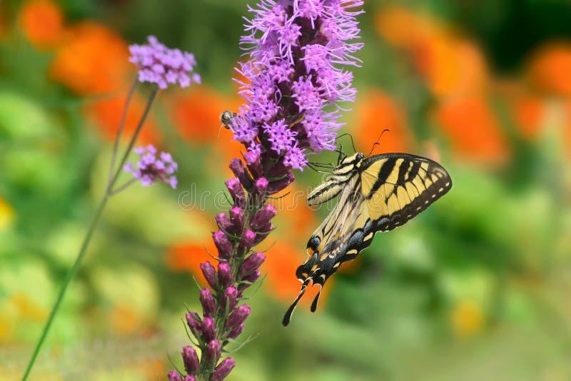 Östlicher Tiger Swallowtail lizenzfreies stockbild