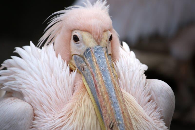 Östlicher weißer Pelikan stockbilder