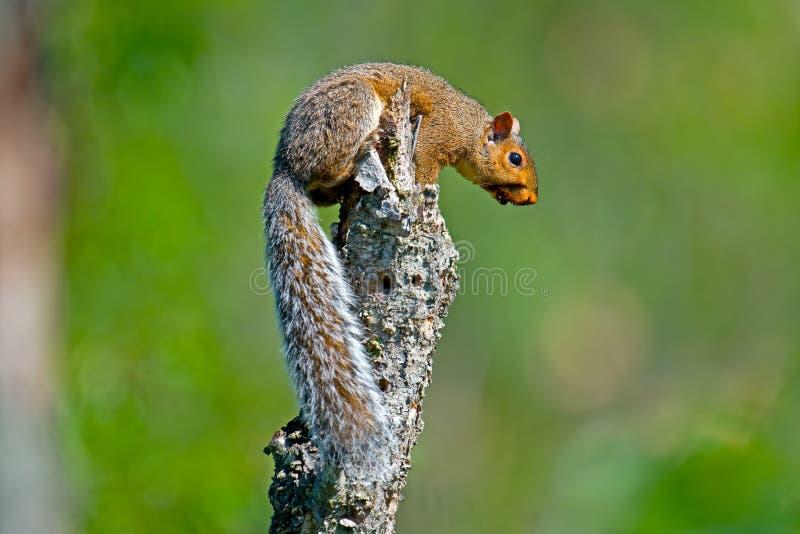 Östliches Grau-Eichhörnchen stockbild