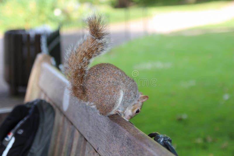 Östliches Grau-Eichhörnchen London stockbilder