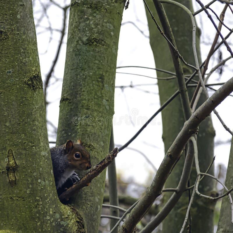Östliches graues Eichhörnchen versteckt im Baum - London, Vereinigtes Königreich lizenzfreies stockfoto