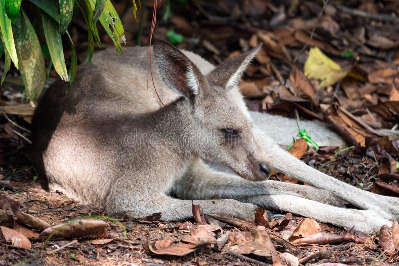 Östliches graues neugierig schauendes Känguru Macropus giganteus und lizenzfreie stockfotografie