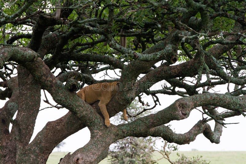 Östlig afrikansk lejoninnaPanthera leo i träd arkivbild