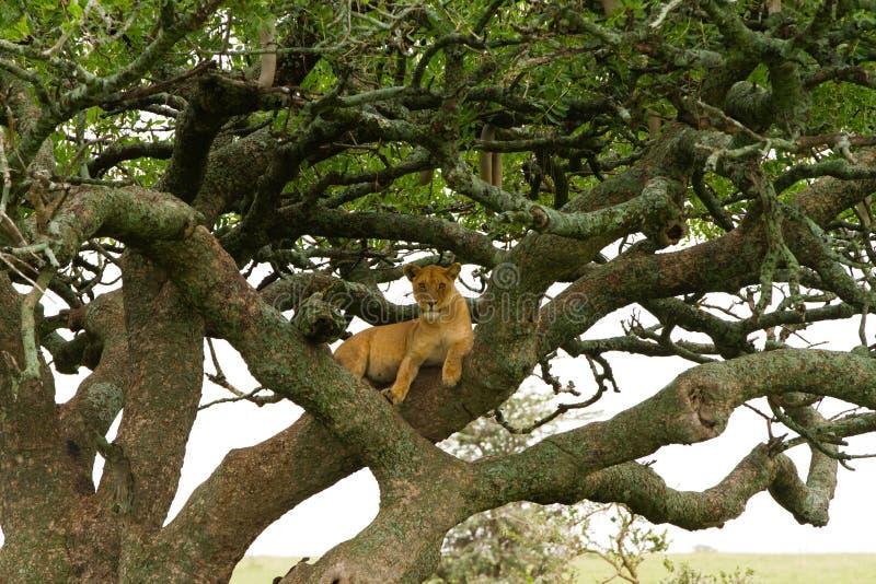 Östlig afrikansk lejoninnaPanthera leo i träd royaltyfria foton
