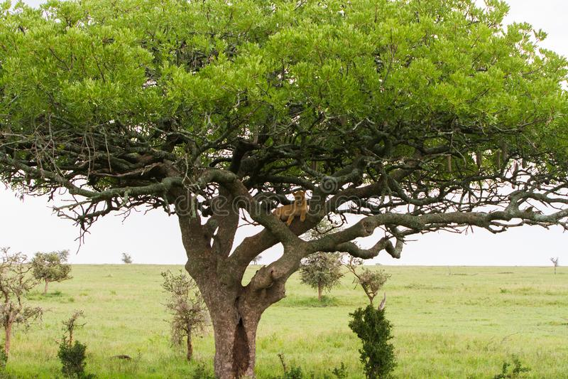 Östlig afrikansk lejoninnaPanthera leo i träd arkivfoto