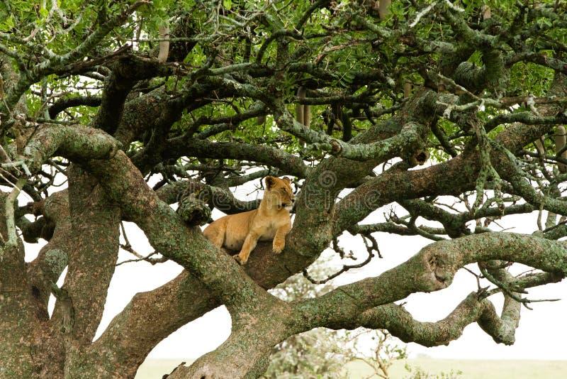 Östlig afrikansk lejoninnaPanthera leo i träd arkivfoton