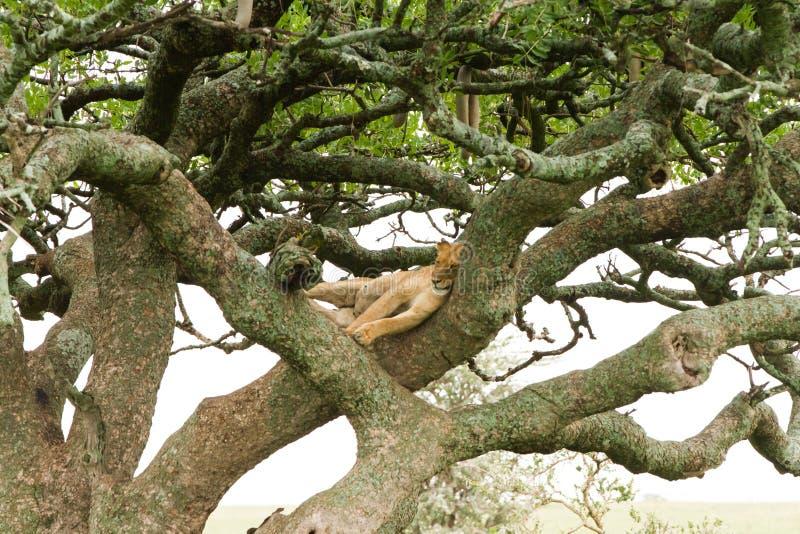 Östlig afrikansk lejoninnaPanthera leo i träd royaltyfri foto