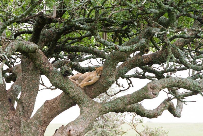 Östlig afrikansk lejoninnaPanthera leo i träd royaltyfria bilder