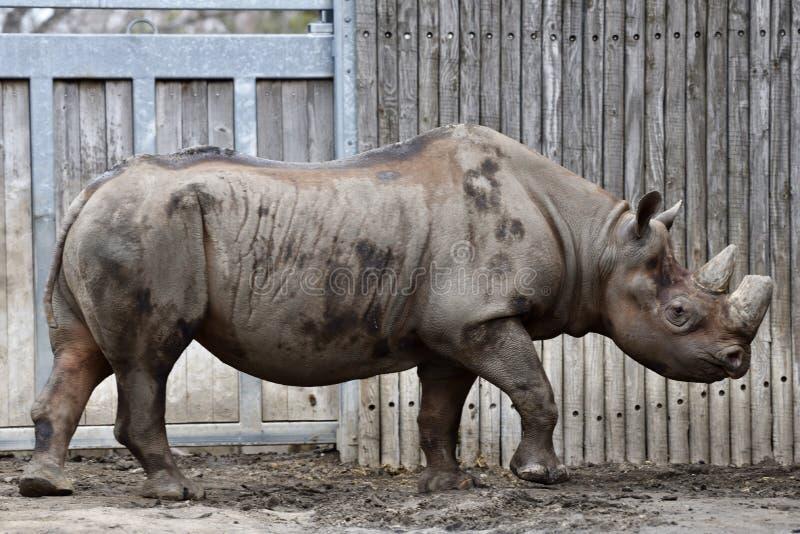 Östlig afrikansk svart noshörning royaltyfria foton
