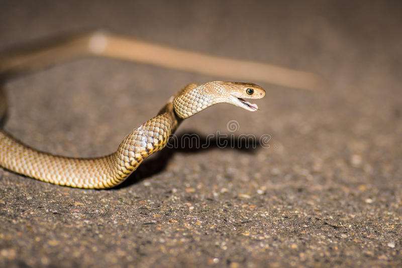 Östlig brun orm, Australien royaltyfri fotografi
