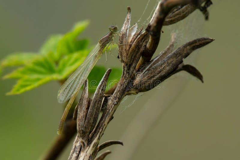 Östlig Forktail Damselfly - Ischnura verticalis fotografering för bildbyråer