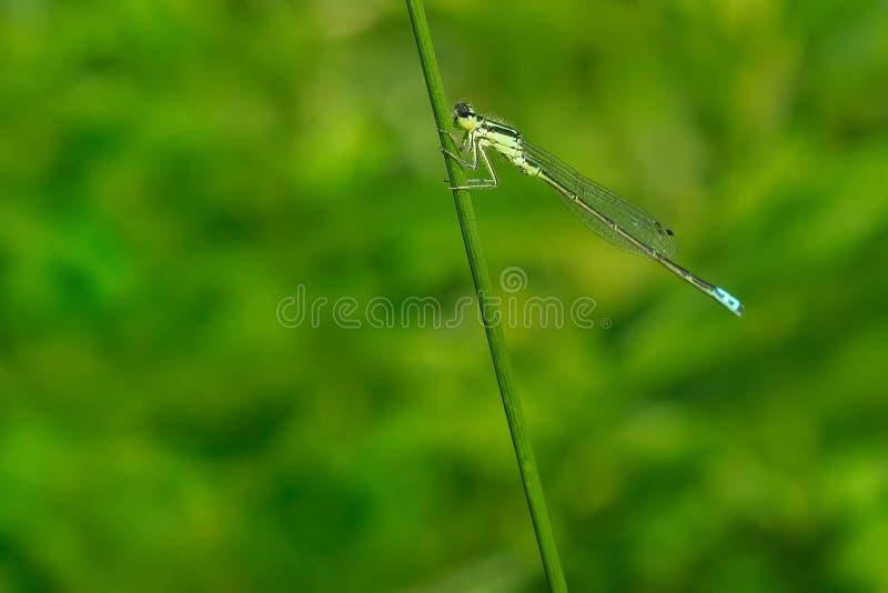 Östlig Forktail Damselfly - Ischnura verticalis royaltyfri bild