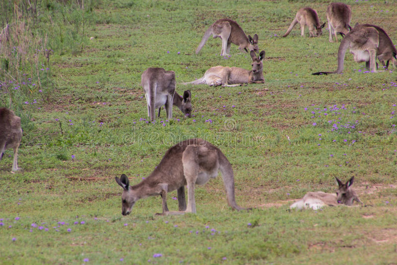 östlig grå känguru arkivfoton