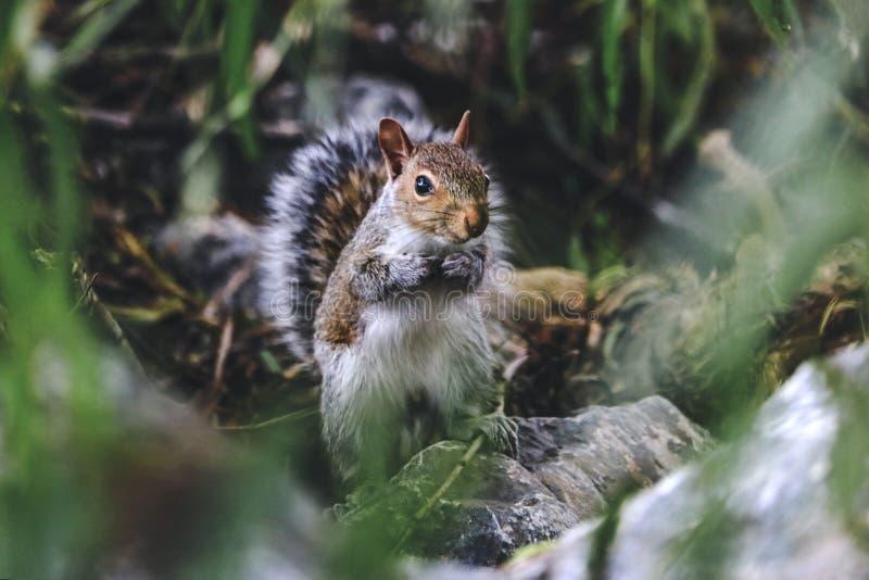 Östlig Grey Squirrel stående i sen sommar arkivbild