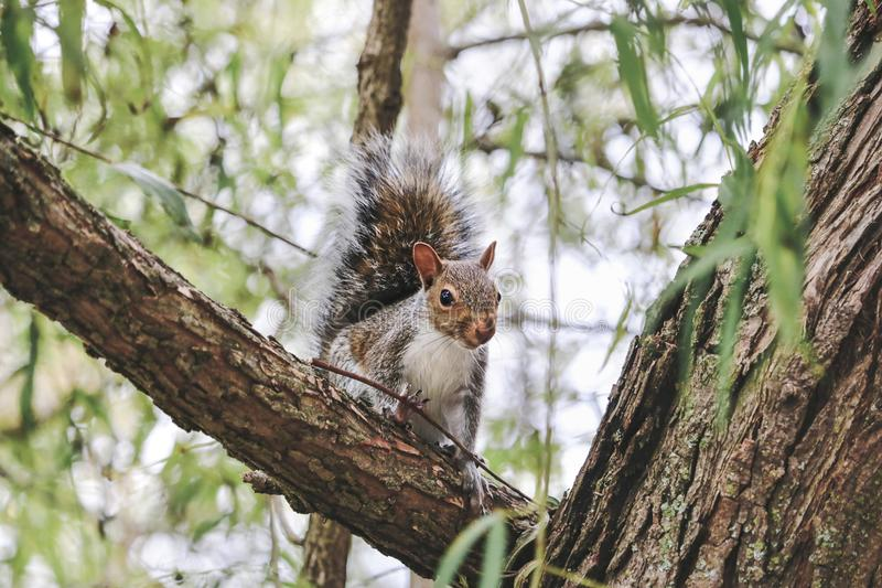 Östlig Grey Squirrel stående i sen sommar arkivbilder