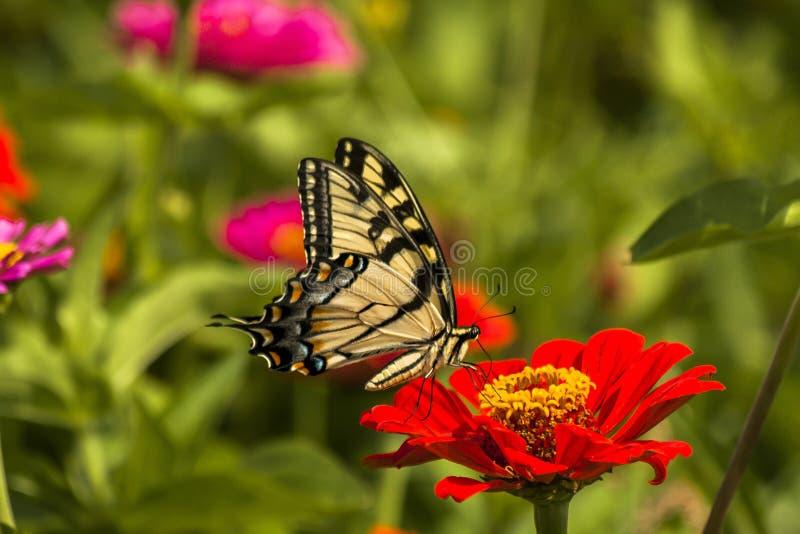 Östlig gul Swallowtail fjäril royaltyfri fotografi