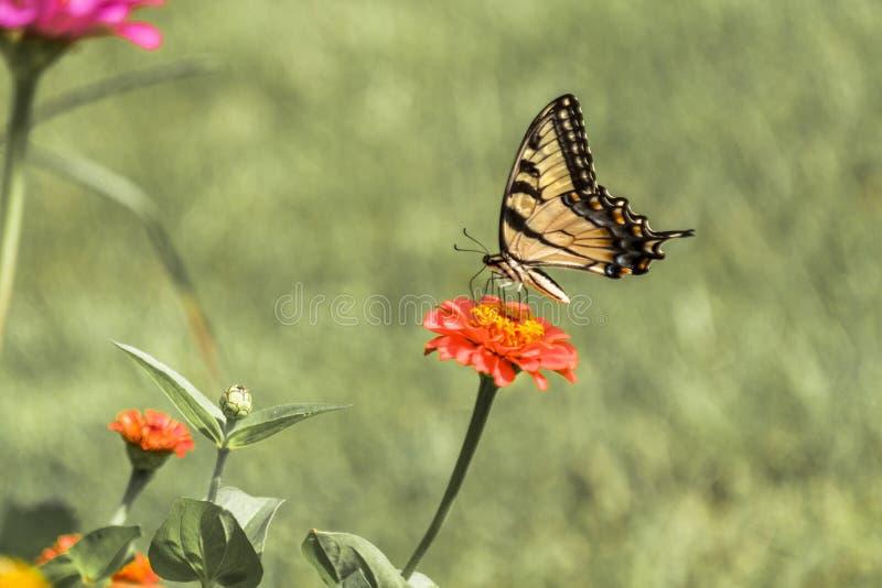 Östlig gul Swallowtail fjäril 2 royaltyfri fotografi