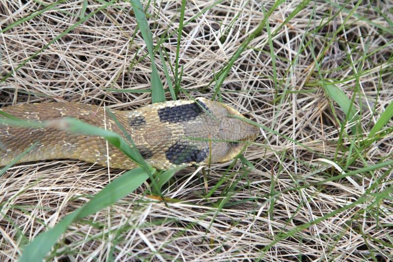 Östlig Hognose orm som glider till och med gräs arkivfoto