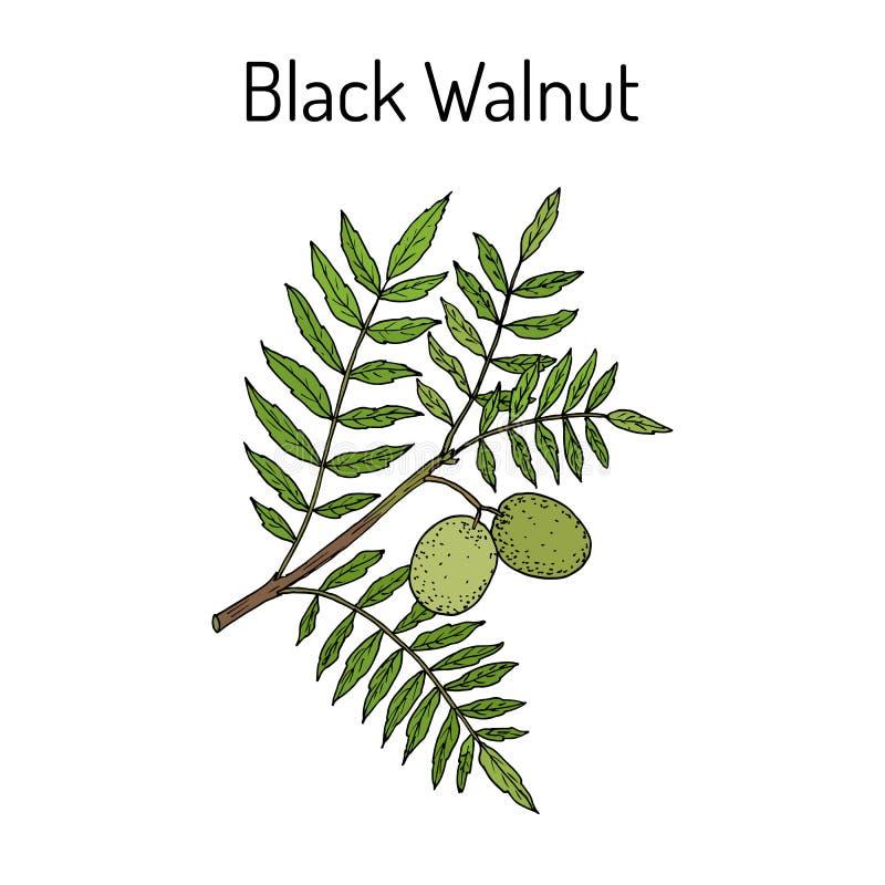 Östlig Juglansnigra för svart valnöt stock illustrationer
