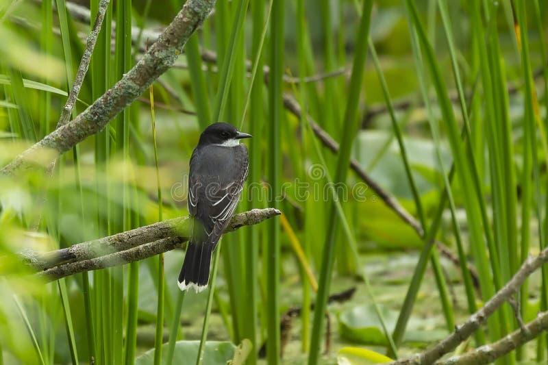 Östlig kingbird som sitter på kanten av sjön arkivfoto