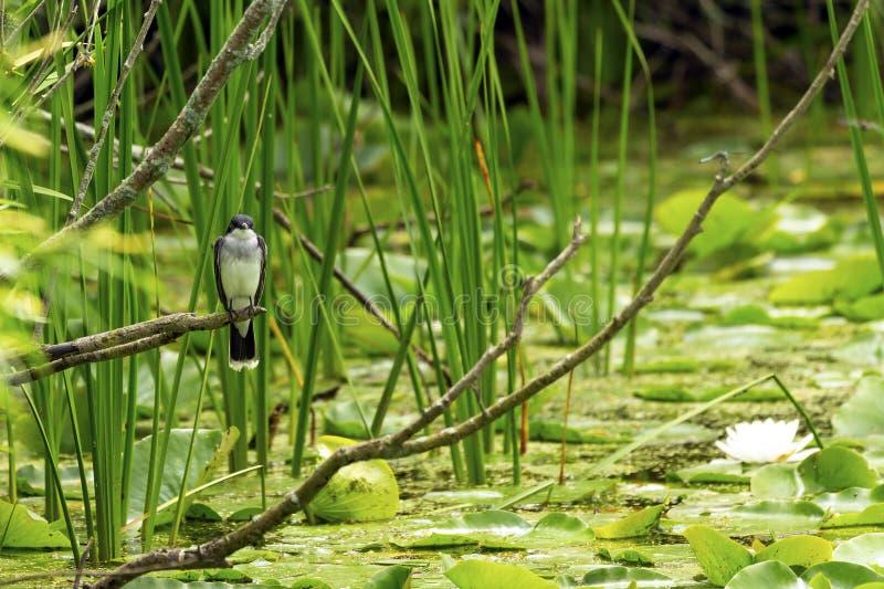 Östlig kingbird som sitter på kanten av sjön arkivfoton