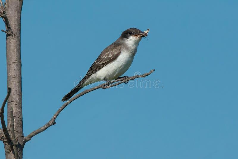 Östlig Kingbird - Tyrannustyrannus fotografering för bildbyråer