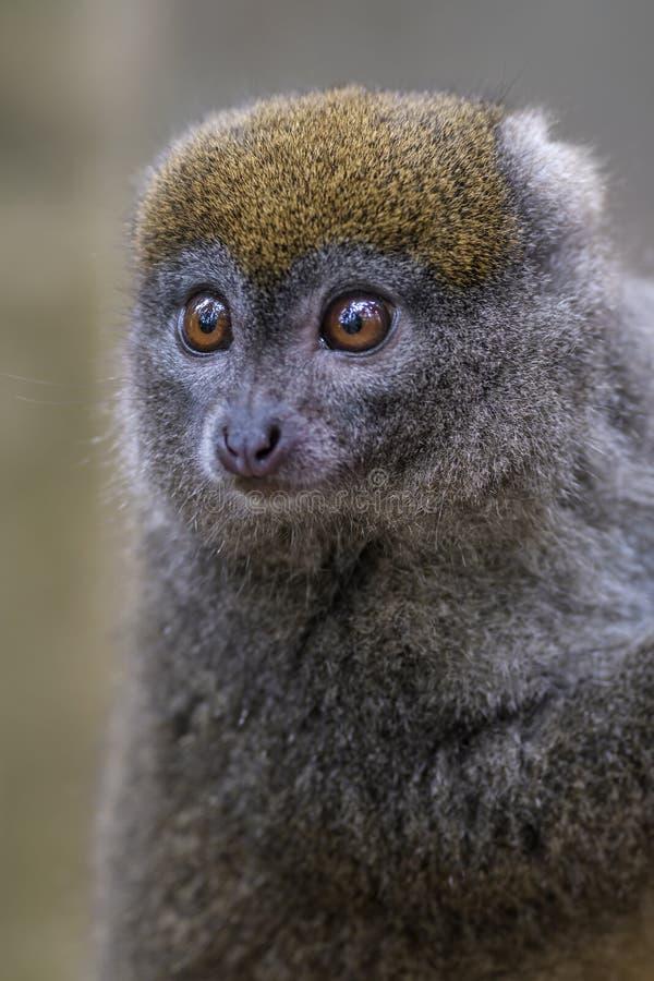 Östlig Lesser Bamboo Lemur - Hapalemur griseus arkivfoto