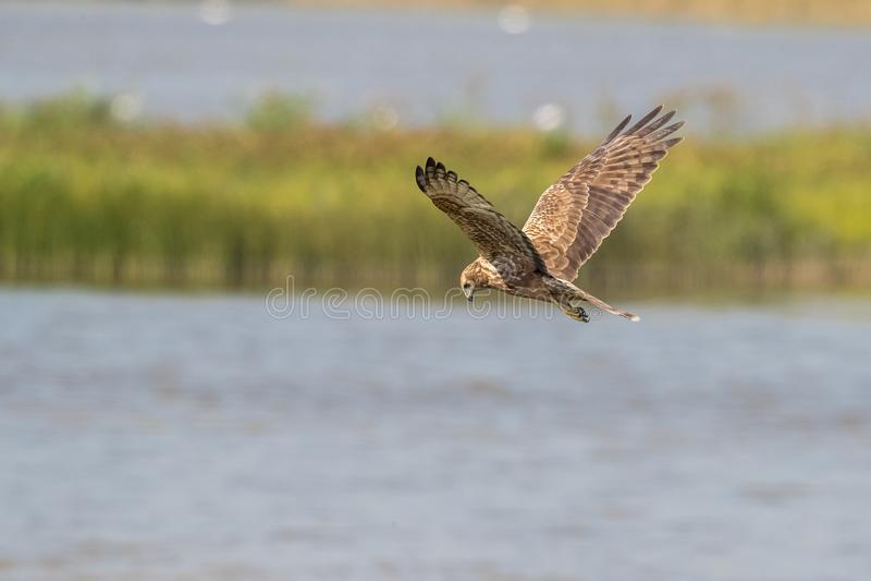 Östlig Marsh Harrier Circus för fågel i flykten - spilonotus arkivfoton