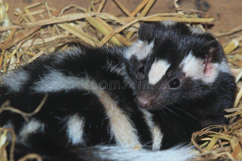 Östlig prickig skunk royaltyfria foton