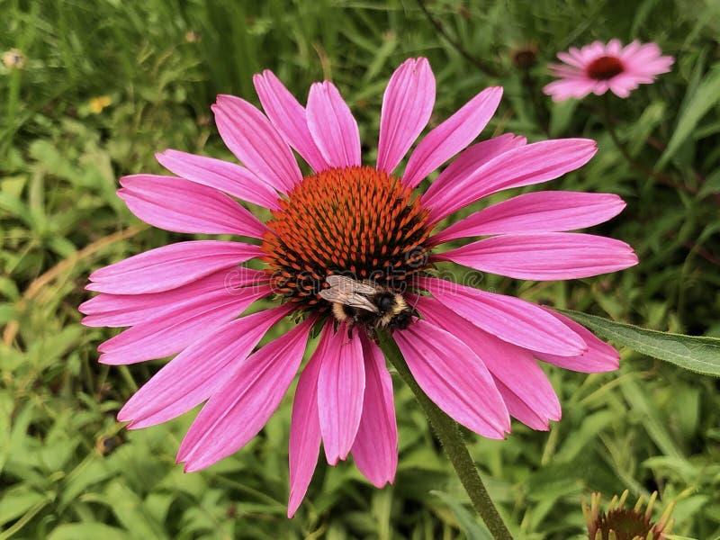 Östlig purpurfärgad coneflower, igelkottconeflower, lilaconeflower eller ö Mainau för Echinaceapurpureablomma på sjön Constance royaltyfria foton