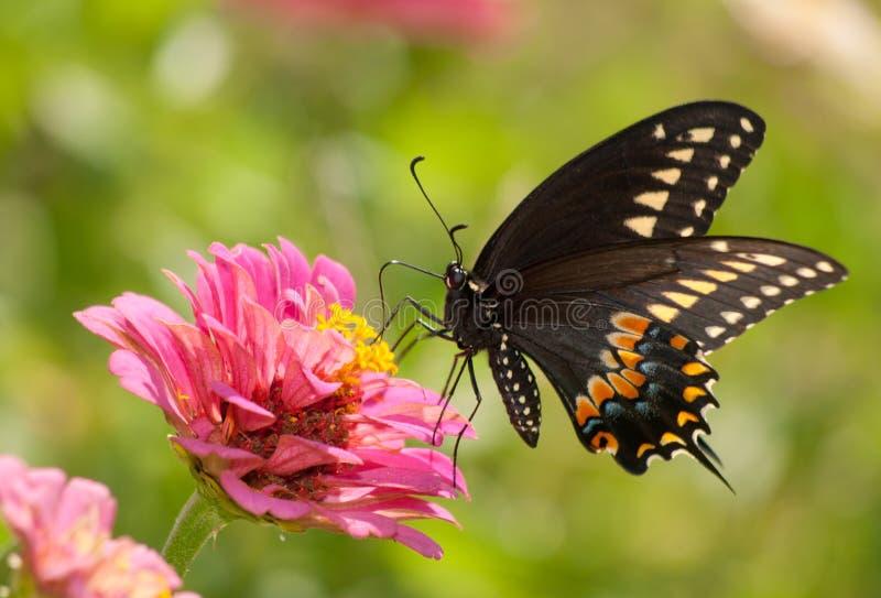 Östlig svart Swallowtail fjäril royaltyfri fotografi