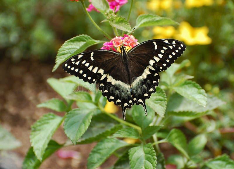 Östlig svart Swallowtail fjäril arkivfoto