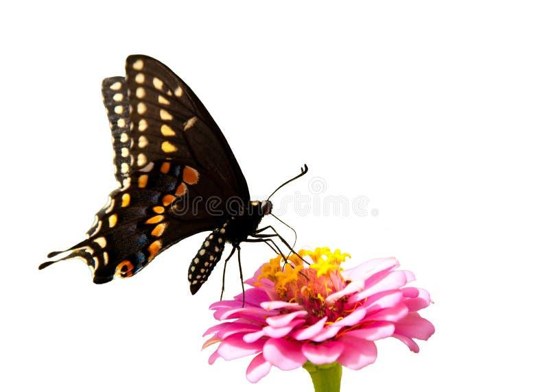 Östlig svart Swallowtail fjäril som isoleras arkivfoto