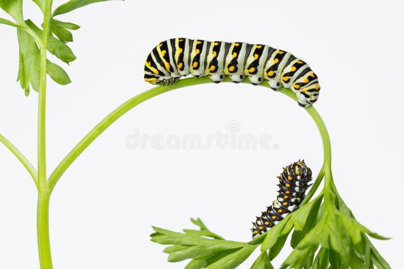 Östlig svart Swallowtail larv för två arkivbild