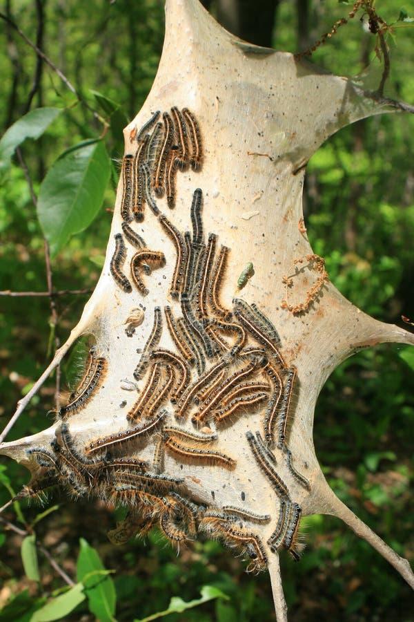 östlig tent för caterpillars arkivbilder