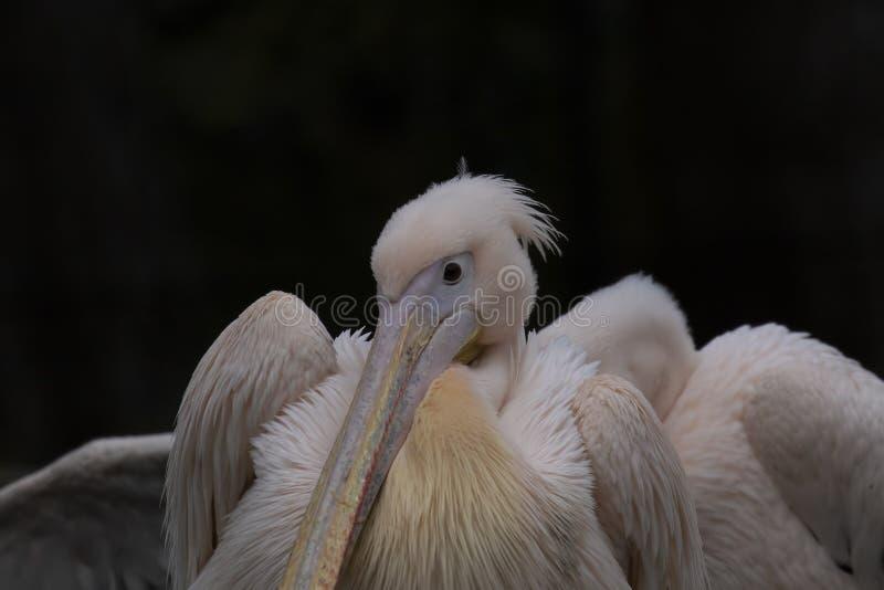 Östlig vit pelikan-, Pelecanusonocrotalus, slut upp ståenden av den head och långa näbb arkivbild