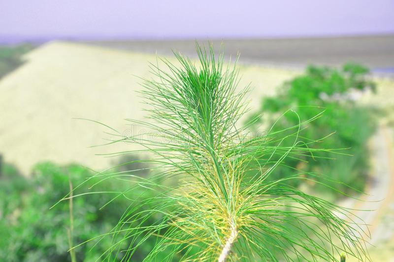 Östlig vit sörjer trädfilialen royaltyfri fotografi