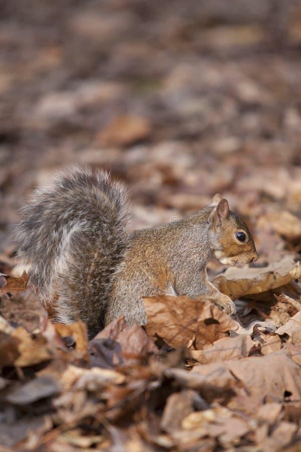 Östliga Grey Squirrel camoflauged i stupade sidor royaltyfria bilder