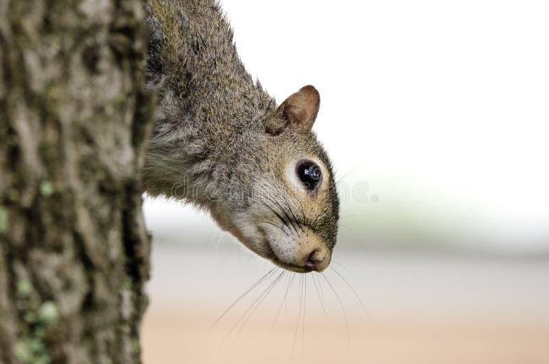 Östliga Grey Squirrel som ner klättrar trädskället, slut upp ståenden arkivfoto