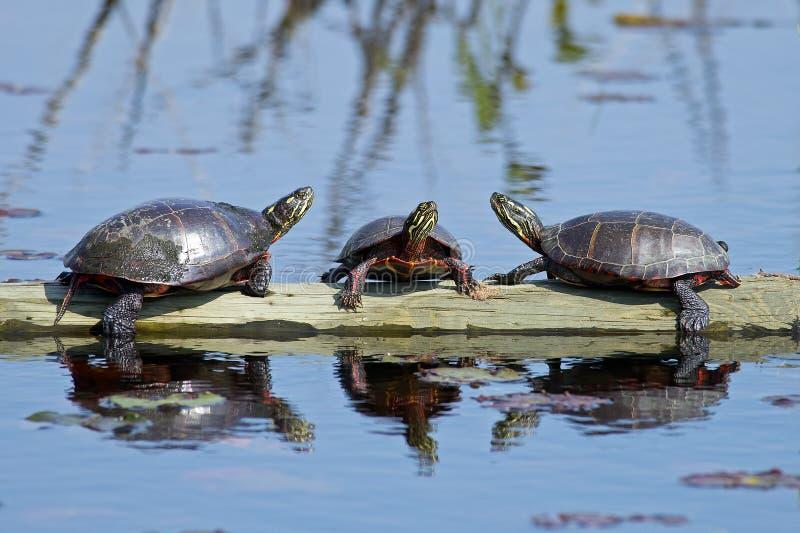 Östliga målade sköldpaddor på journal fotografering för bildbyråer