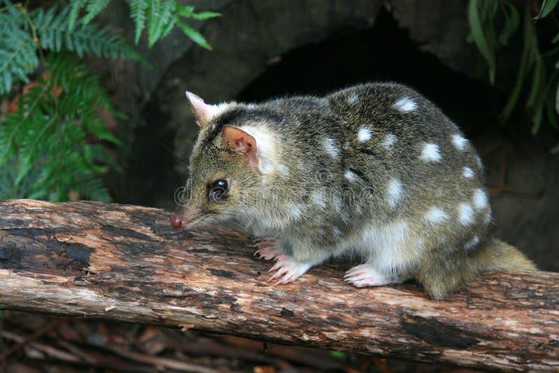 Östliga Quoll, Tasmanien, Australien royaltyfri foto