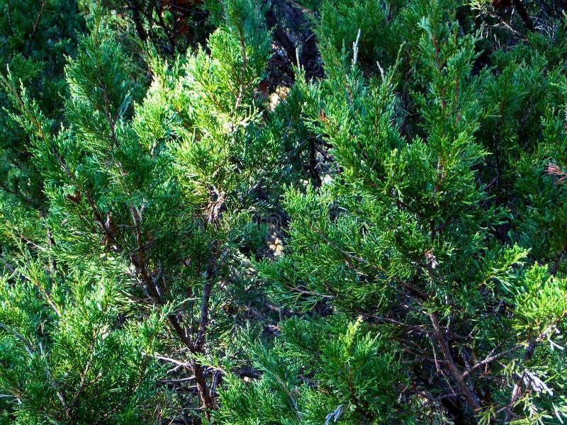 Östliga röda Cedar Thickets royaltyfri bild