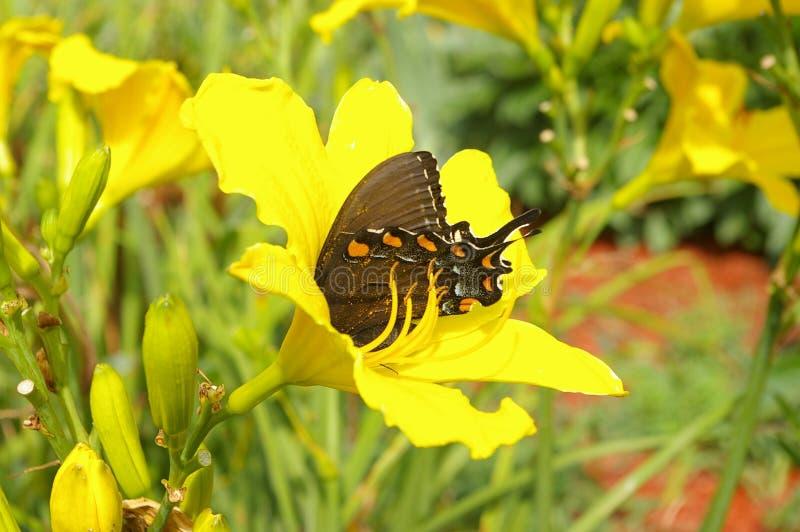 Östliga svarta Swallowtail arkivbild