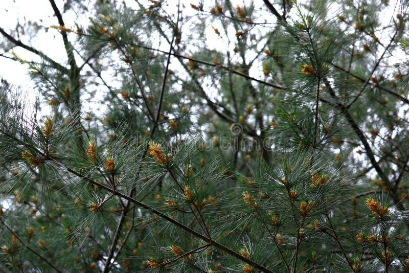 Östliga White Pine trädfilialer royaltyfri fotografi