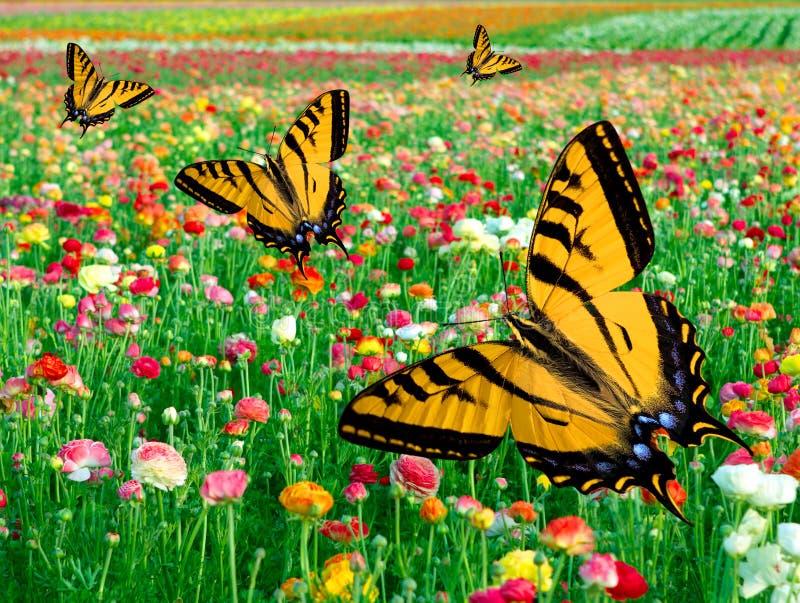 Östligt fält för blomma för ~ för tigerSwallowtail fjäril royaltyfri foto